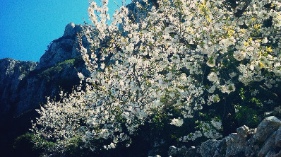 Almond flowers Costa Blanca